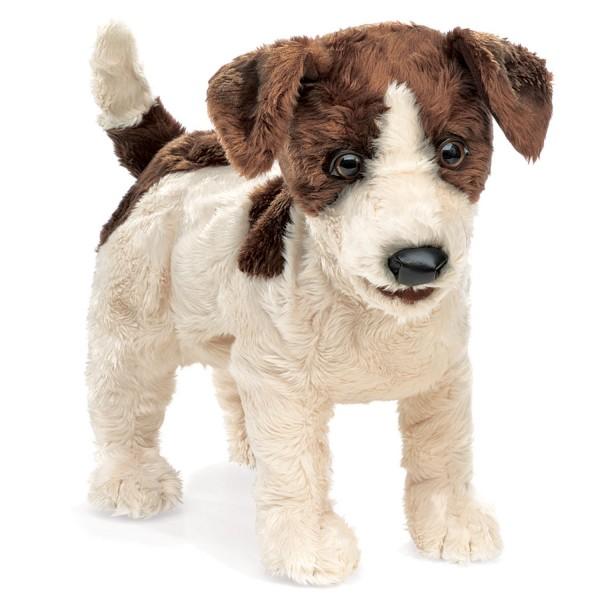 Jack Russell Terrier / Jack Russell Terrier
