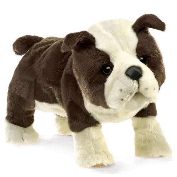 Englische Babybulldogge / English Bulldog Puppy